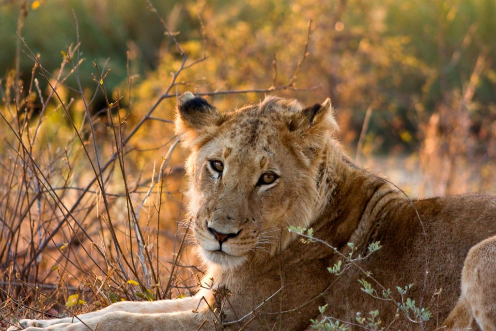 Lion-Female-Kruger-National-Park