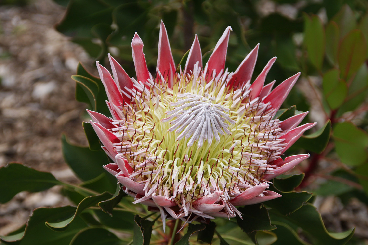 King Protea Garden Route Tour