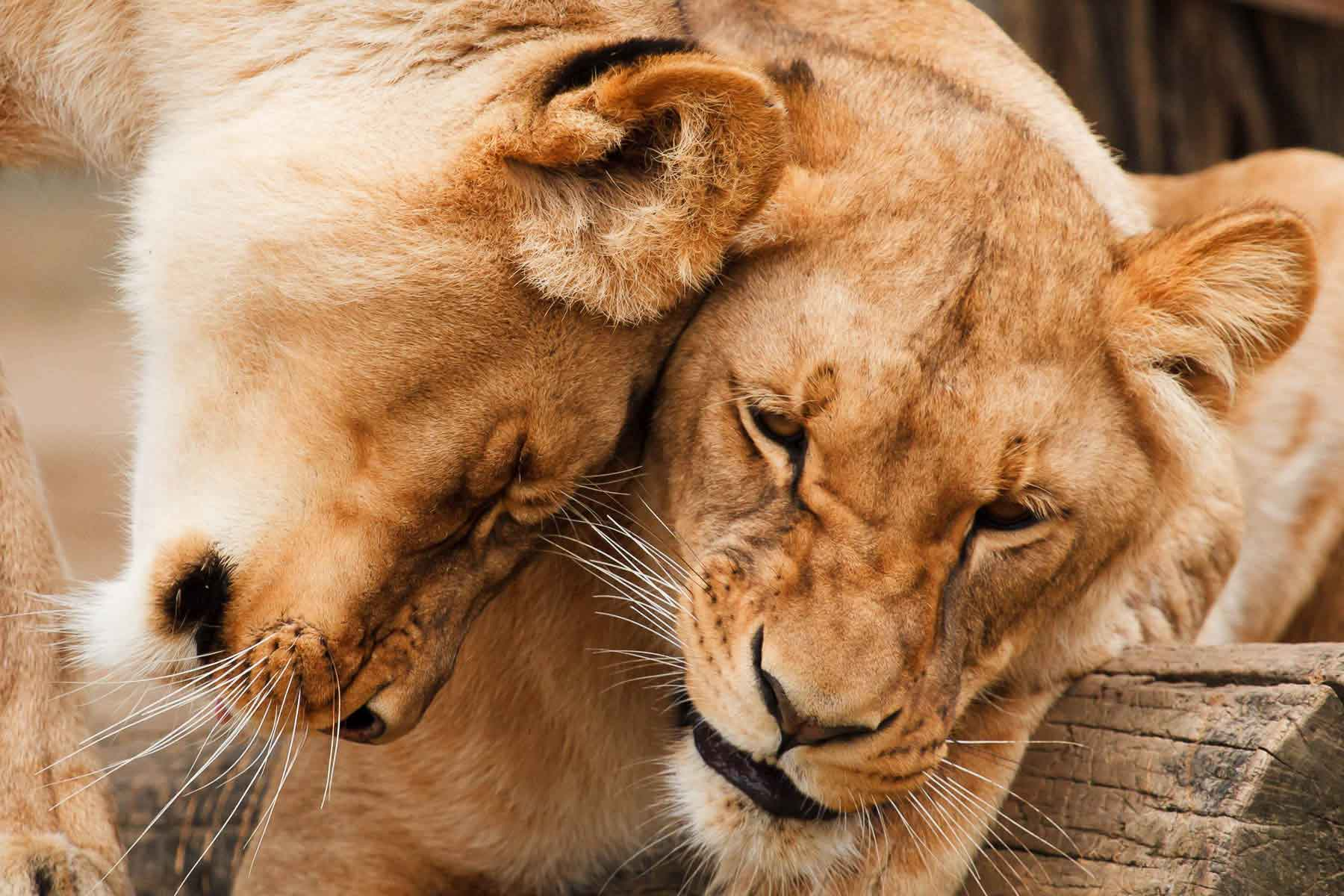 Lions Cape Town South Africa